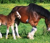 Clydesdale Mare With Her Foal At Pasture Photo By: Skeeze From Pixabay Https://pixabay.com/photos/clydesdales-Horses-Colt-Mare-1105207/