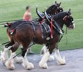 Budweiser Clydesdale Photo By: Eli Christman Https://creativecommons.org/licenses/by/2.0/