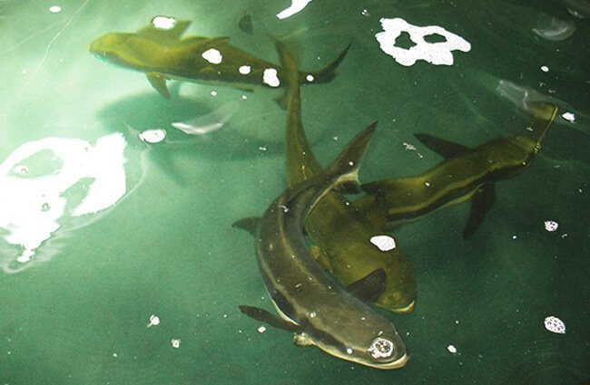 Cobia raised by aquaculture in Brazil Photo by: Kate Webster https://creativecommons.org/licenses/by-nd/2.0/
