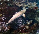 Cobia Pretending To Be A Shark Photo By: Feline Groovy Https://creativecommons.org/licenses/by-Nd/2.0/