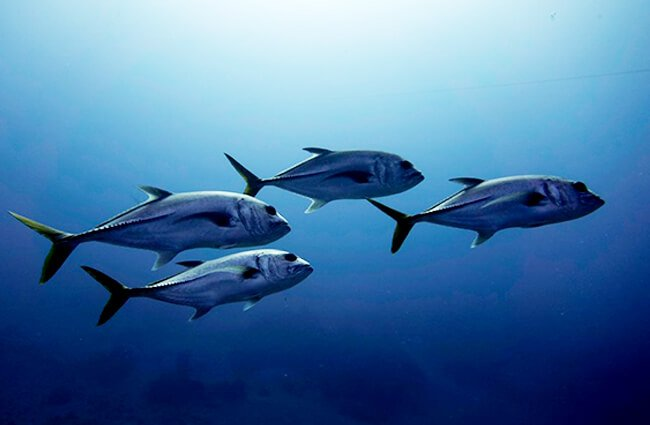 Cobia Train Photo by: David Elwood https://creativecommons.org/licenses/by-nd/2.0/