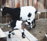 Mama Fainting Goat With Her Kid Photo By: Winecountry Media / Www.winecountry.com Https://Creativecommons.org/Licenses/By/2.0/
