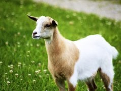 Portrait of a Fainting GoatPhoto by: Jeanhttps://creativecommons.org/licenses/by/2.0/