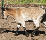 Bob The Fainting Goat Photo By: Jean Https://creativecommons.org/licenses/by/2.0/