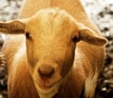 Butterbean The Fainting Goat Photo By: Jean Https://Creativecommons.org/Licenses/By/2.0/