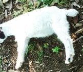 Young Fainting Goat Photo By: Redleg At English Wikipedia / Public Domain