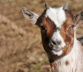 Fainting Goat Selfie! Photo By: Böhringer Friedrich Cc By-Sa (Https://Creativecommons.org/Licenses/By-Sa/2.5 )