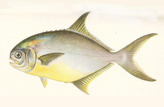 Graphic of a Florida Pompano Photo by: University of Washington / Public domain https://digitalcollections.lib.washington.edu/digital/collection/fishimages/search