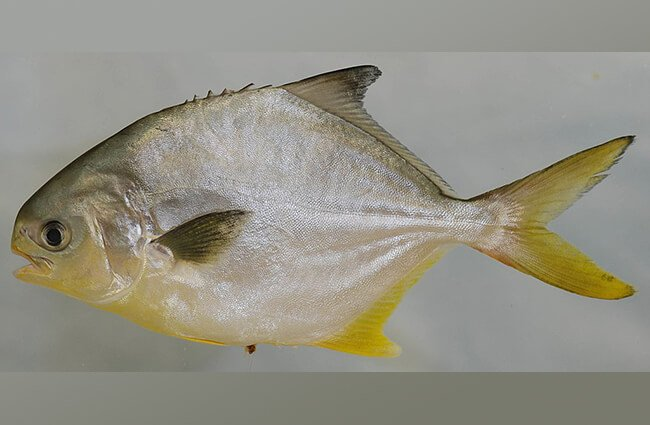 Florida Pompano from the Lower Chesapeake Bay, Virginia Photo by: Smithsonian Environmental Research Center CC BY https://creativecommons.org/licenses/by/2.0