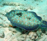 Funny-Looking Peacock Flounder Photo By: Chika Watanabe Https://creativecommons.org/licenses/by/2.0/