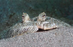 Undercover FlounderPhoto by: Christian Gloorhttps://creativecommons.org/licenses/by/2.0/