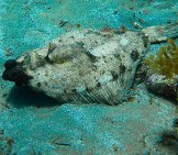 Flounder Resting On The Ocean Floor Photo By: Roban Kramer Https://creativecommons.org/licenses/by/2.0/
