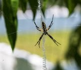 This Female Yellow Garden Spider Is Weaving Her Web Photo By: Puddin Tain Https://Creativecommons.org/Licenses/By-Sa/2.0/