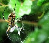 A Garden Spider Wrapping Her Prey In Silk Photo By: Katja Schulz Https://Creativecommons.org/Licenses/By-Sa/2.0/