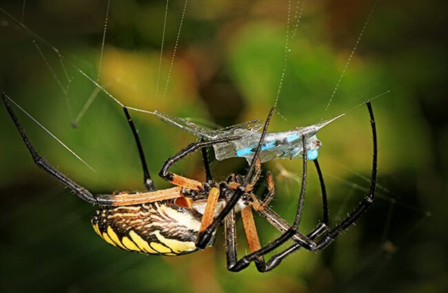 Yellow Garden Spider Photo by: Judy Gallagher https://creativecommons.org/licenses/by-sa/2.0/