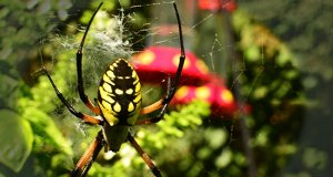 Black and Yellow Garden SpiderPhoto by: jeffreywhttps://creativecommons.org/licenses/by-sa/2.0/