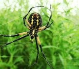 The Belly Side Of This Garden Spider Photo By: Gabriel Legaré Https://Creativecommons.org/Licenses/By-Sa/2.0/