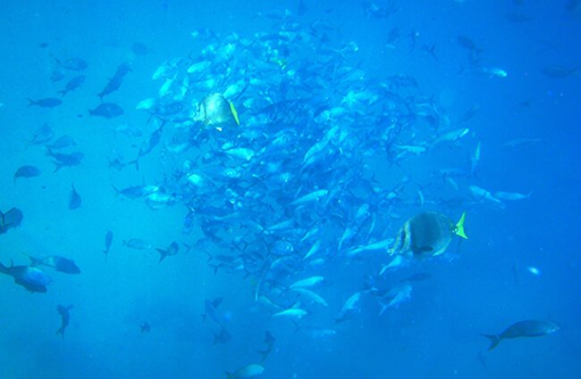 School of Green Jacks circling to avoid predator fish Photo by: Andy Blackledge https://creativecommons.org/licenses/by/2.0/