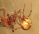 Common House Spider Photo By: Judy Gallagher Https://creativecommons.org/licenses/by/2.0/