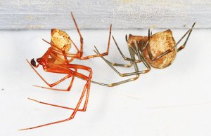 Common House Spiders in their web at the ceilingPhoto by: Judy Gallagherhttps://creativecommons.org/licenses/by/2.0/