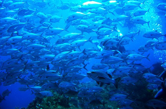 School of Jack Fish Photo by: eljosafat https://creativecommons.org/licenses/by-nd/2.0/