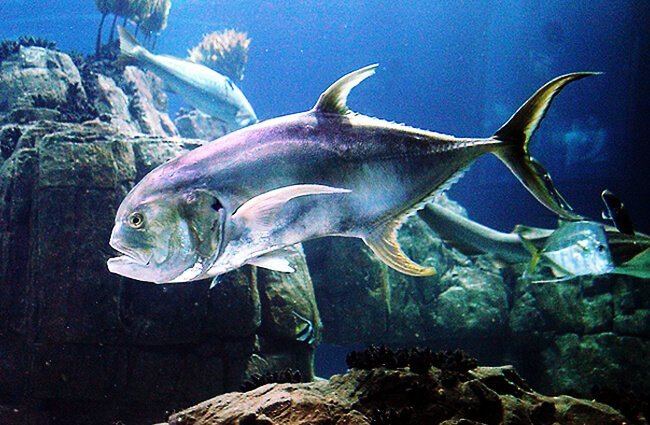 Closeup of a Jack Fish at the Lisbon Oceanarium Photo by: Dguendel CC BY (https://creativecommons.org/licenses/by/4.0 )