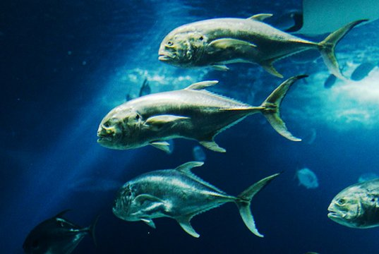 A school of Jack Fish at the Lisbon OceanariumPhoto by: Bobo BoomCC BY (https://creativecommons.org/licenses/by/2.0 )