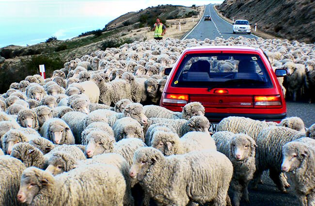 Merino sheep in the road Photo by: Bernard Spragg. NZ [public domain] https://creativecommons.org/licenses/by-nd/2.0/