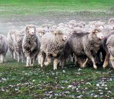 Merino Muster In The Early Morning Mist Photo By: Bernard Spragg. Nz [Public Domain] Https://creativecommons.org/licenses/by-Nd/2.0/
