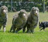 Merino Sheep Photo By: Peter Mackey Https://creativecommons.org/licenses/by-Nd/2.0/