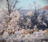 Sheep Are A Hardy Breed Photo By: Ben Https://creativecommons.org/licenses/by-Nd/2.0/