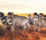 A Small Flock Of Merinos In The Sunsetphoto By: Michael Chaberski [Public Domain]Https://creativecommons.org/licenses/by-Nd/2.0/
