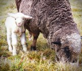 Merino Lamb Photo By: Peter Shanks Https://creativecommons.org/licenses/by-Nd/2.0/