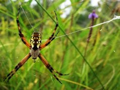 Orb Weaver spider spinning its webPhoto by: Amyhttps://creativecommons.org/licenses/by/2.0/