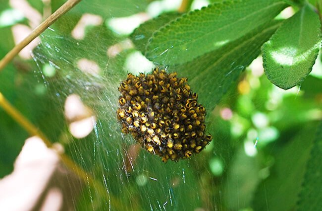 Orb Weaver nest Photo by: nick fullerton https://creativecommons.org/licenses/by/2.0/