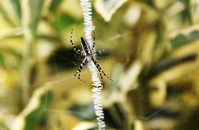 Young Female Orb Weaver in the garden Photo by: Tony Alter https://creativecommons.org/licenses/by/2.0/