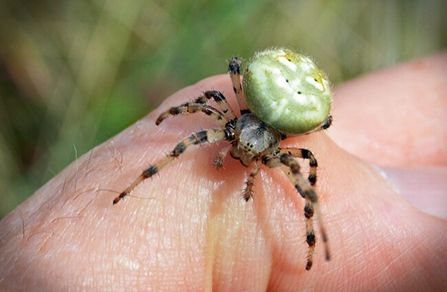 An Orb Weaver spider checking out the photographer Photo by: Philip McErlean https://creativecommons.org/licenses/by/2.0/