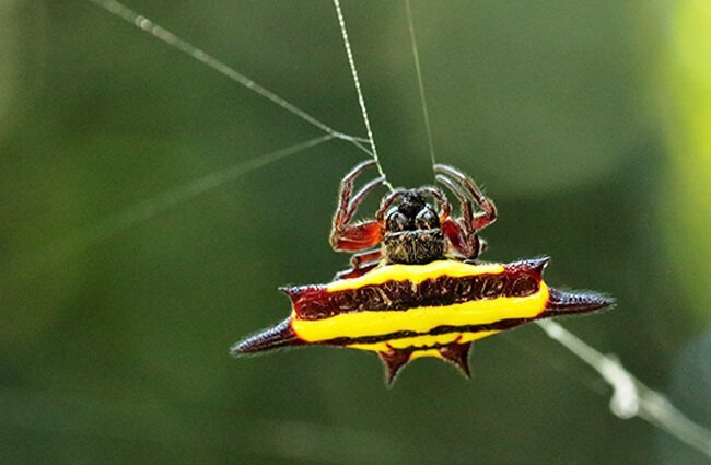 The colorful Spiny Orb Weaver Photo by: Graham Winterflood https://creativecommons.org/licenses/by/2.0/