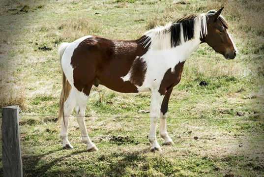 Paint Horse dozing in the pasturePhoto by: Johnhttps://creativecommons.org/licenses/by-sa/2.0/