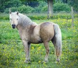 A Beautiful Percheron In The Pasture. Photo By: Olive Titus Https://creativecommons.org/licenses/by/2.0/