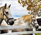 Percherons Watching Over The Fence Photo By: Carl Wycoff Https://creativecommons.org/licenses/by/2.0/