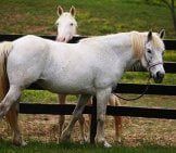 A Pair Of Beautiful Percherons. Photo By: Jean Https://creativecommons.org/licenses/by/2.0/