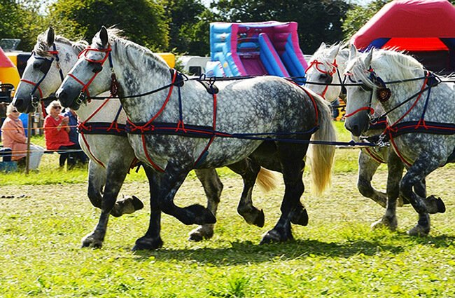 Percherons rigged as draft horses, to pull a cart Photo by: Snapshooter46 https://creativecommons.org/licenses/by/2.0/