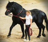 Russian Percheron Photo By: Stah Https://creativecommons.org/licenses/by/2.0/