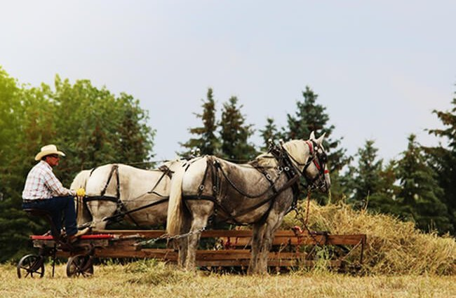 A Percheron draft team on the farm Photo by: Jessica Rockeman from Pixabay https://pixabay.com/photos/horses-cowboy-farmer-hay-3092780/