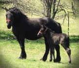 A Magnificent Percheron Mare With Her Foal Photo By: Conni Https://creativecommons.org/licenses/by/2.0/
