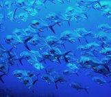 A School Of Permits In Clear Blue Waters Photo By: Skeeze From Pixabay Https://pixabay.com/photos/school-Of-Permits-Ocean-Swimming-1095325/