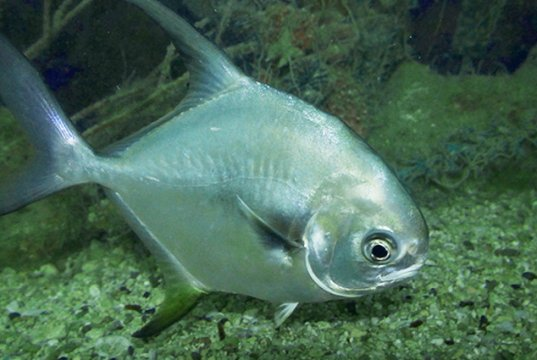 Closeup of a Permit in a commercial aquariumPhoto by: Bernard DUPONThttps://creativecommons.org/licenses/by-sa/2.0/