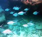 A School Of Palometa At Grand Cayman Islands Photo By: Mike Boudreaux Https://creativecommons.org/licenses/by-Sa/2.0/