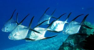 A school of Longfin PompanoPhoto by: Kevin Bryanthttps://creativecommons.org/licenses/by-sa/2.0/